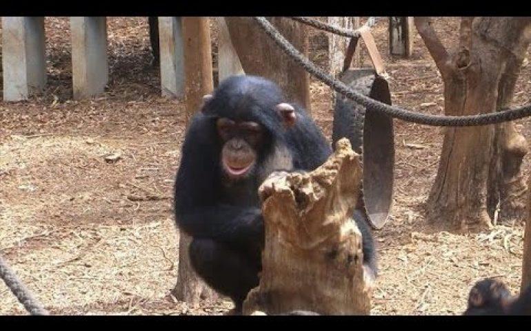 Sierra Leone chimps back in swing as Ebola retreats