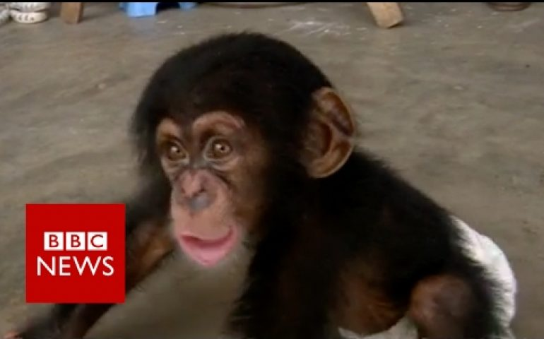 Secret trade in baby chimps – BBC News